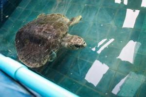 Turtle-Phuket-4